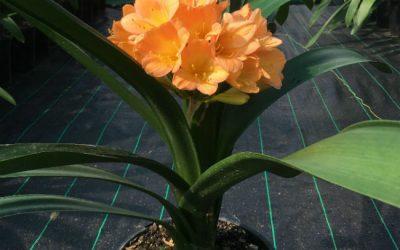 Peach Clivia Bloom (Sold)